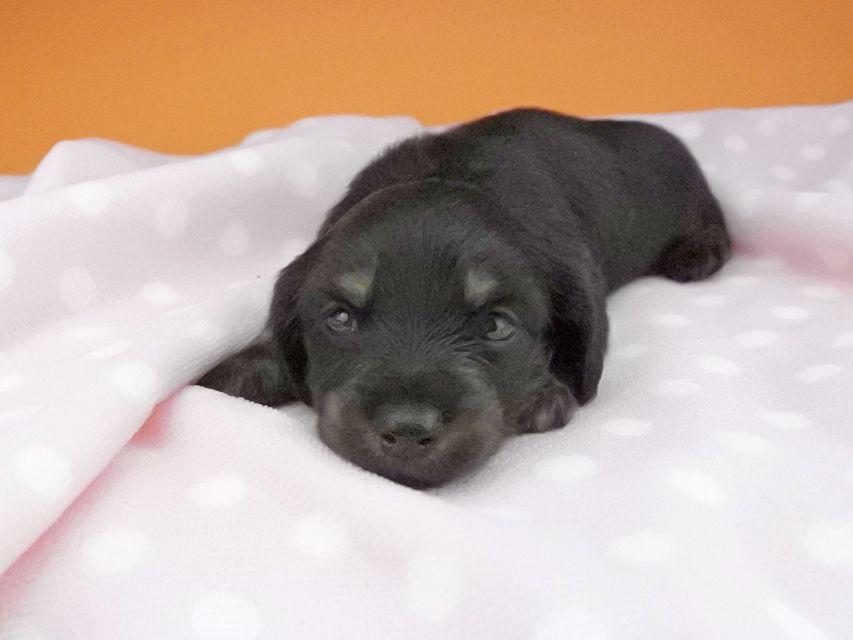 カニンヘンダックスフンド ノエルhp & ブルースの子犬 ブラックタン 女の子