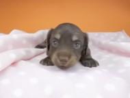 ノエルhp & ブルースの子犬 チョコイエロー 女の子