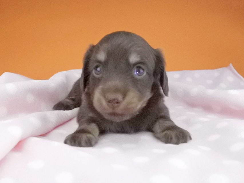 カニンヘンダックスフンド ノエルhp & ブルースの子犬 チョコ系 女の子
