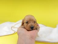 リコ & 竹千代の子犬 イエロー(クリーム) 男の子 お写真初登場