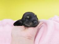 KT & ブルースの子犬 ブラックイエロー(ブラッククリーム) 女の子 お写真初登場