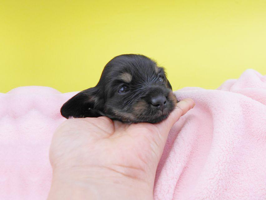 カニンヘンダックスフンド KT & ブルースの子犬 ブラックイエロー(ブラッククリーム) 女の子 お写真初登場