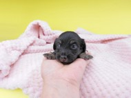 グリム & ナイトの子犬 ブラックイエロー(ブラッククリーム) 男の子 お写真初登場