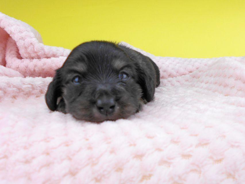 カニンヘンダックスフンド グリム & ナイトの子犬 ブラックイエロー(ブラッククリーム) 女の子 お写真初登場
