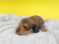 茶葉 & オスカルの子犬 シェーデットイエロー(シェーデットクリーム) 男の子 お写真初登場