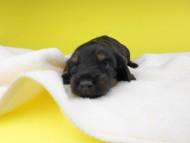 ノエルhp & ブルースの子犬 ブラックタン 女の子 お写真初登場