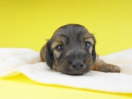 オーシャン & 竹千代の子犬 シェーデットイエロー(シェーデットクリーム) 女の子(1) お写真初登場