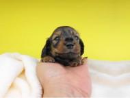 オーシャン & 竹千代の子犬 シェーデットイエロー(シェーデットクリーム) 女の子(2) お写真初登場