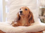 バンビ & スカッシュの子犬 レッド 男の子