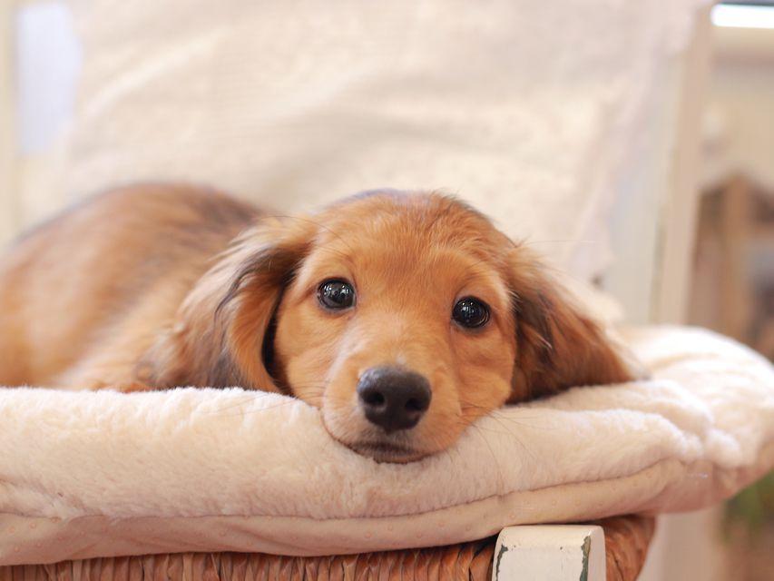 カニンヘン ダックスフンド バンビ & スカッシュの子犬 レッド 男の子