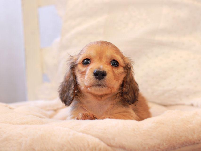 カニンヘン ダックスフンド ププリン & スカッシュの子犬 ペールレッド 男の子