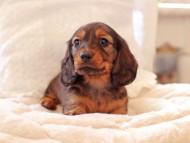 ジャジー & まもるCHの子犬 レッド 男の子(1)