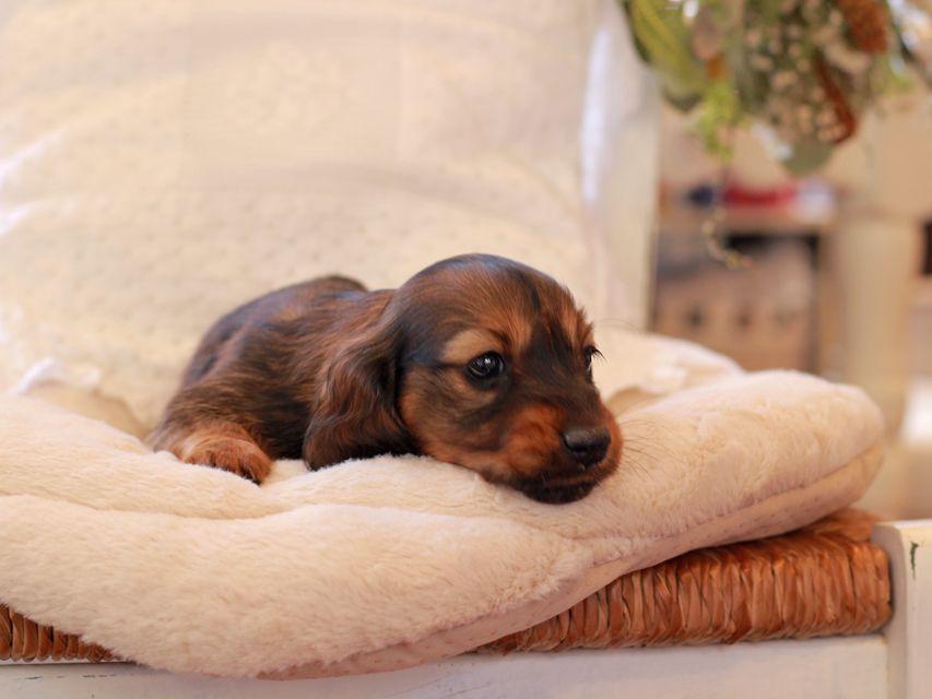 ミニチュア ダックスフンド ジャジー & まもるCHの子犬 レッド 女の子(1)