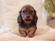 ジャジー & まもるCHの子犬 レッド 女の子(2)
