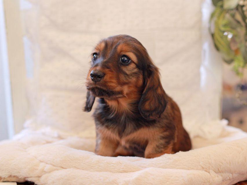 ミニチュア ダックスフンド ジャジー & まもるCHの子犬 レッド 女の子(2)