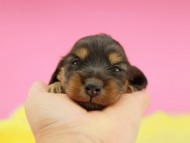 ナンシーcs & ナイトの子犬 ブラタン 女の子(1) お写真初登場