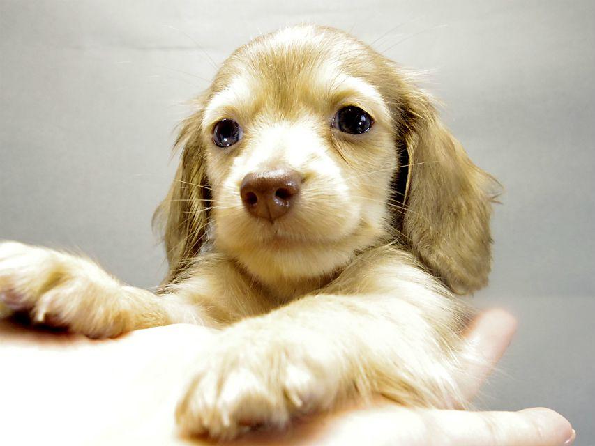カニヘンダックス 子犬 クリーム 女の子