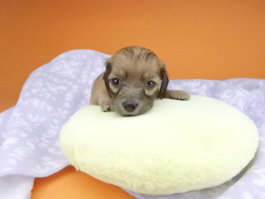 カニンヘンダックスフンド オーシャン & 竹千代の子犬 レッド 男の子