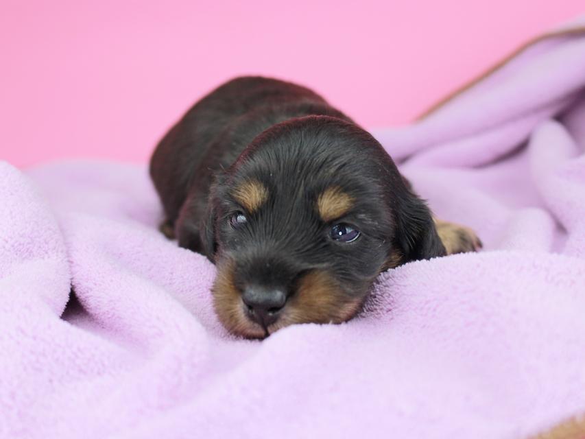 カニンヘンダックスフンド ナンシーcs & ナイトの子犬 ブラタン 女の子(2) お写真初登場