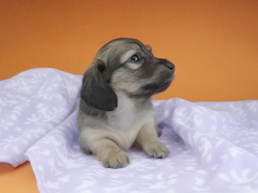カニンヘンダックスフンド オーシャン & 竹千代の子犬 シェーデットイエロー(シェーデットクリーム) 女の子(1)