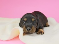 ナンシーcs & ナイトの子犬 ブラタン 女の子(3) お写真初登場