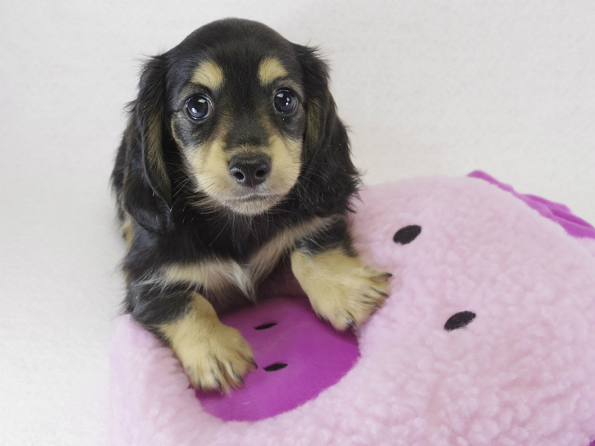 Zanies Fuzzy Faces Dog Toys/ピック