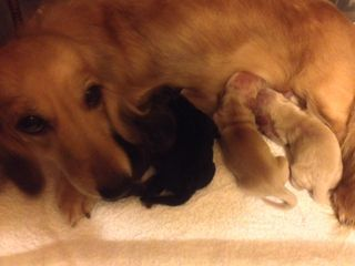 カニンヘンのマンドレが10月18日出産しました。元気な4頭です