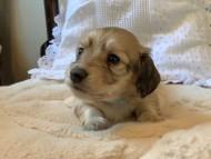 コットン & スカッシュの子犬 イエロー(クリーム) 男の子(1)