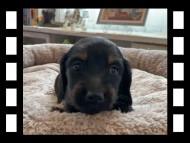ローリー & ジェットの子犬 ブラタン 女の子(1)