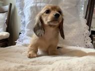 オリーブkk & スカッシュの子犬 レディッシュイエロー(レディッシュクリーム) 女の子