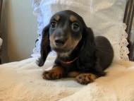 ルチアhp & ブルースの子犬 ブラタン 女の子(1)