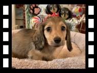 オーロラ & スカッシュの子犬 イエロー(クリーム) 男の子(1)