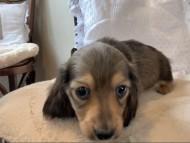 オリーブkk & スカッシュの子犬 イエロー(クリーム) 男の子(1)