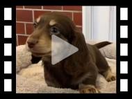 ターシャ & ブルースの子犬 チョコイエロー(チョコクリーム) 男の子