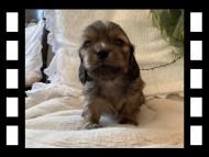 マシェリ & オスカーの子犬 レッド 男の子(2)