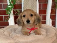 メイプルhp & 竹千代の子犬 イエロー(クリーム) 女の子