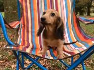 動画 ニコmt & ビルズmtの子犬 シェーデットイエロー(シェーデットクリーム) 男の子