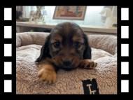 ローリー & ジェットの子犬 レッド 男の子