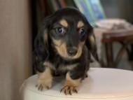 パセリkk & ナイトの子犬 ブラックイエロー(ブラッククリーム) 女の子