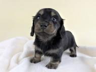 リールー & ジャンの子犬 ブラックタン 女の子 お写真初登場