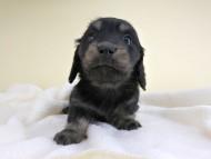リールー & ジャンの子犬 ブラックイエロー 女の子 お写真初登場