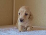 8月2日生まれカニンヘンダックス・マンドレの赤ちゃんピュアクリーム女の子