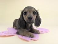 シャーロット & ジムダンディの子犬 レディッシュイエロー 女の子(1) お写真初登場