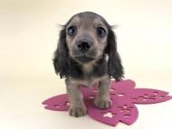 シャーロット & ジムダンディの子犬 レディッシュイエロー 女の子(2)