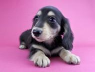 グリム & 武蔵の子犬 ブラックイエロー 男の子