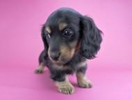 リールー & ジャンの子犬 ブラックタン 女の子