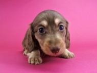 ルル & ナイトの子犬 チョコイエロー 男の子