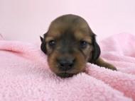 シエラ & たけるの子犬 レッド 女の子(1) お写真初登場