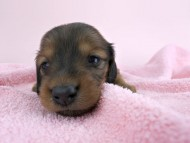 シエラ & たけるの子犬 レッド 女の子(2) お写真初登場