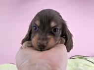ピアス & ナイトの子犬 チョコイエロー 男の子(2)